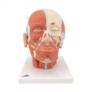Model głowy z układem mięśniowym