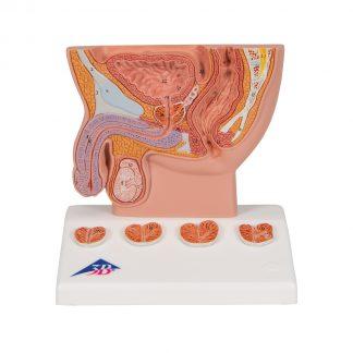 Model prostaty