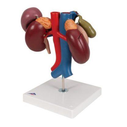 Organy górnego brzucha 5