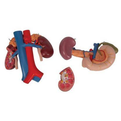 Organy górnego brzucha 6