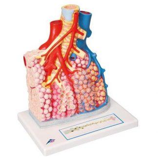 Płat płucny z naczyniami krwionośnymi