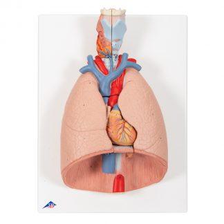 Płuca z krtanią