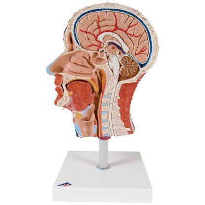 Połowa głowy z umięśnieniem