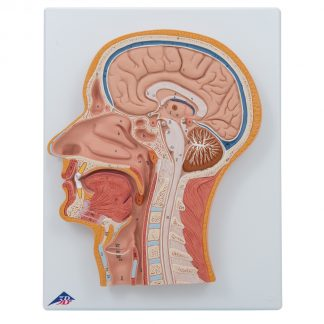 Przekrój środkowy głowy