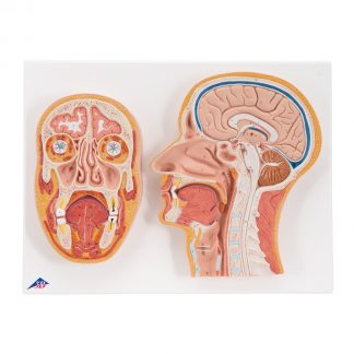 Przekrój środkowy i czołowy głowy