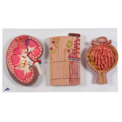 Przekrój nerki i nefronów