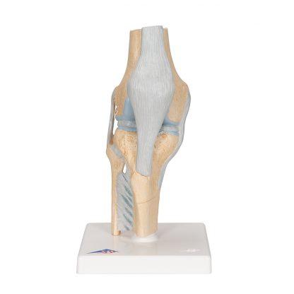 Przekrojowy model stawu kolanowego