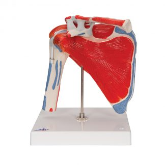 Staw ramieniowy ze stożkiem rotatorów