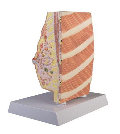 Model gruczołu sutkowego 1