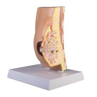 Model gruczołu sutkowego