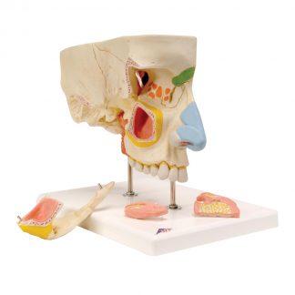 Model nosa z zatokami przynosowymi