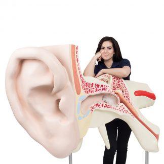 Największe na świecie ucho