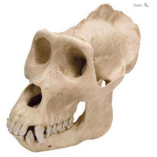 model czaszki goryla