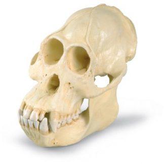 Model czaszki orangutana