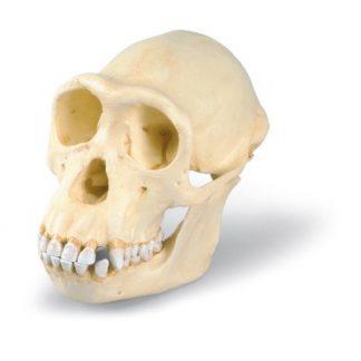 Model czaszki szympansa
