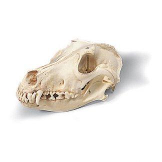 Model czaszki psa