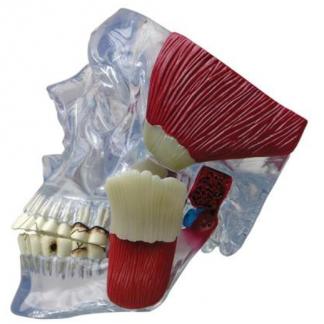 Model stawu skroniowo-żuchwowego