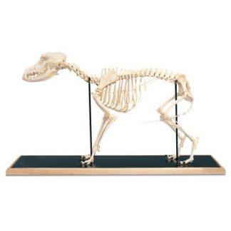 Model szkieletu psa