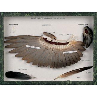 Skrzydło i pióra gołębia