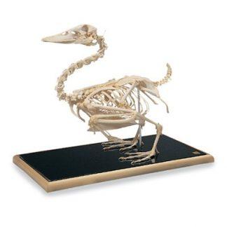 Szkielet kaczki