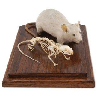 Szkielet myszy i wypchana mysz