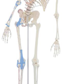 Szkielet człowieka MAX