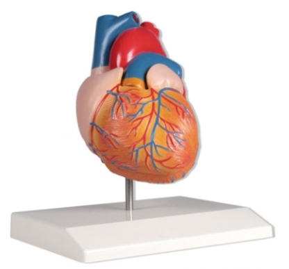Model serca 2 częściowy