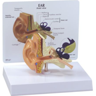 Model ucha na podstawie